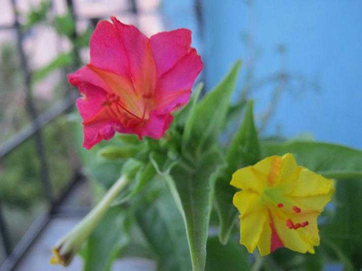 krishnakali pink, yellow IMG_0008 14.5.15