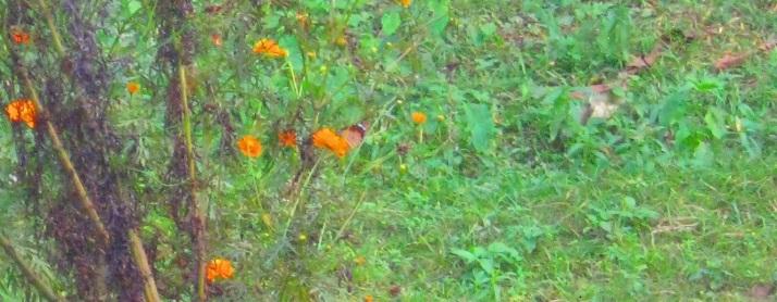 butterfly on flower 10.11.15 IMG_0002 FS