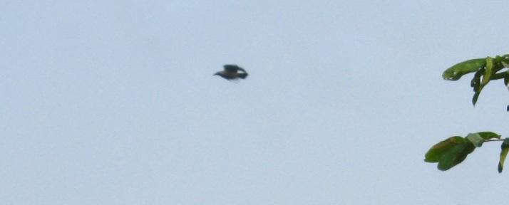 IMG_0010 crow 24.11.15