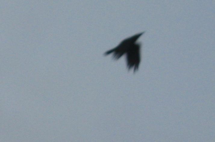 IMG_0002 27.1.16 crow