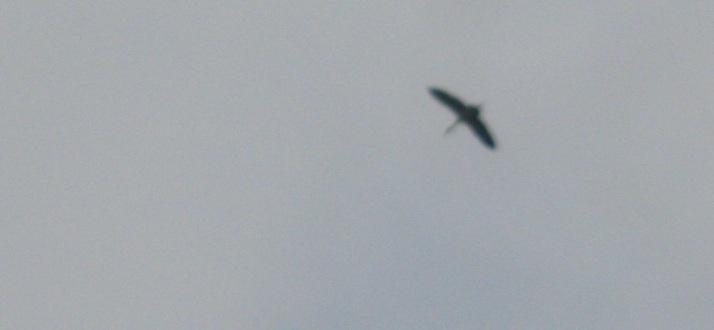 IMG_0007 12.2.16 egret